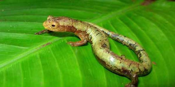 云南边境地区新发现5个两栖类物种