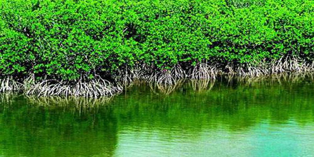 如何更好地对红树林进行保护?