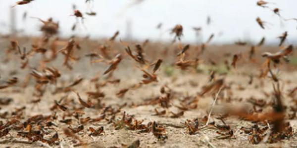 防治沙漠蝗 中国紧锣密鼓