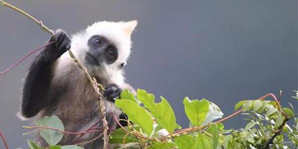我国白头叶猴已超一千两百只