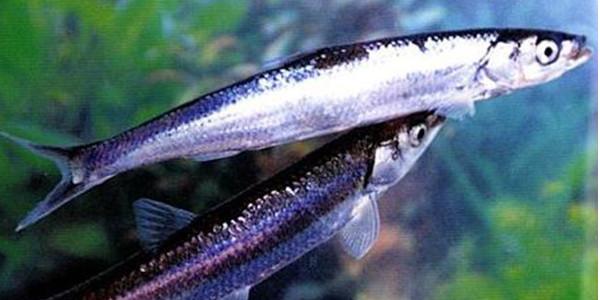 鱼类物种数量越少 捕食者攻击越频繁