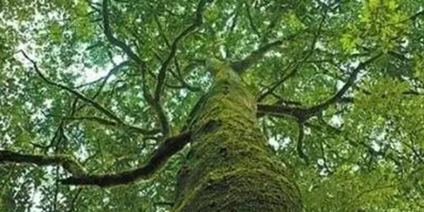 华盖木等野生植物居群稳定增长
