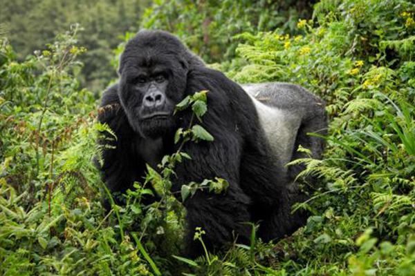 维龙加的大猩猩