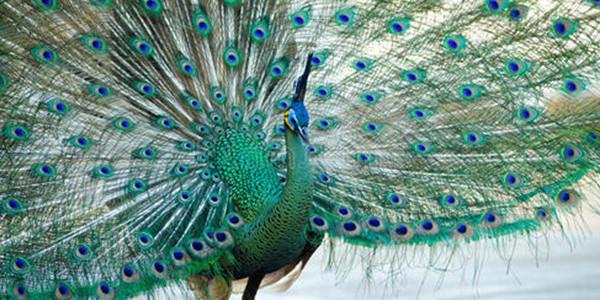 绿孔雀栖息地保住了吗?