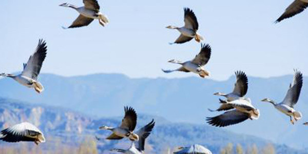 山西护航候鸟迁徙
